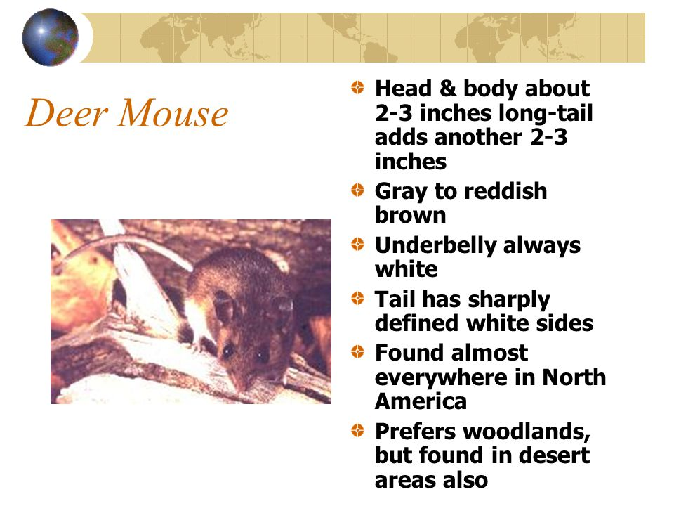 White-Footed Mouse Hard to distinguish from Deer Mouse Head & body about 4 inches-tail adds 2-4 inches Pale brown to reddish brown Underside and feet are white Found southern New England, Mid-Atlantic, southern, midwestern, western states & Mexico Prefers wooded & brushy areas