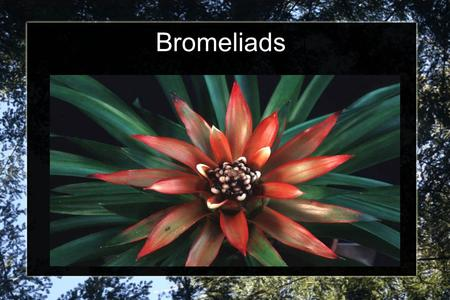Bromeliads. Different Types of Bromeliad There are over 2700 different species of Bromeliad The most well known is the pineapple!
