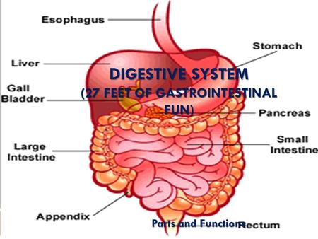 Digestive System (27 feet of gastrointestinal fun)