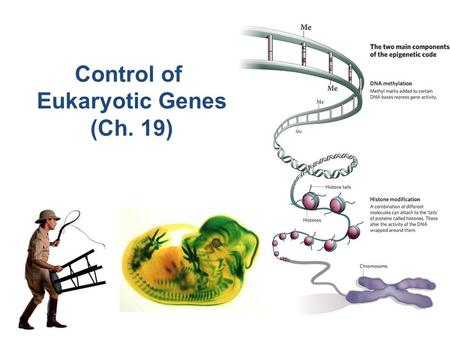 Control of Eukaryotic Genes (Ch. 19) The BIG Questions… How are genes turned on & off in eukaryotes? How do cells with the same genes differentiate to.