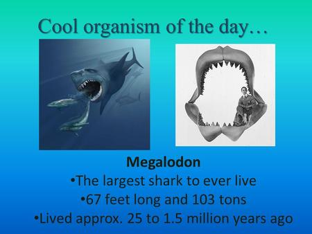 Cool organism of the day… Megalodon The largest shark to ever live 67 feet long and 103 tons Lived approx. 25 to 1.5 million years ago.
