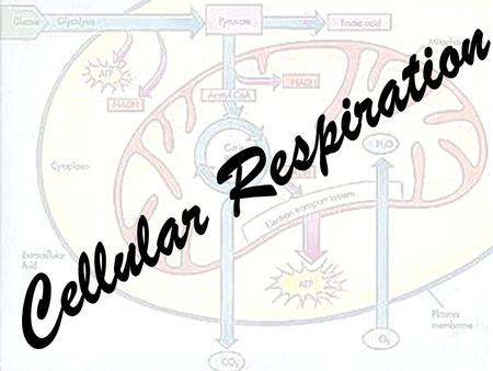 Cellular Respiration. Review: Producers Producers use light energy from the sun to make chemical energy (glucose).
