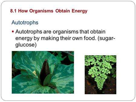Autotrophs  Autotrophs are organisms that obtain energy by making their own food. (sugar- glucose) 8.1 How Organisms Obtain Energy Cellular Energy.