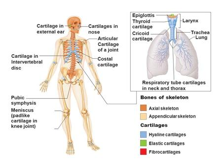 Figure 6.1 The bones and cartilages of the human skeleton. Axial skeleton Appendicular skeleton Hyaline cartilages Elastic cartilages Fibrocartilages Cartilages.