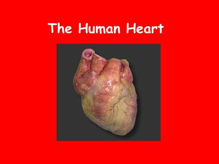 The Human Heart. Location In the thoracic cavity, specifically the mediastinum. It's tipped slightly so that a part of it sticks out and taps against.