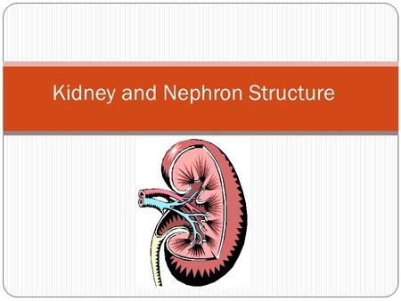 Kidney and Nephron Structure. Major Functions of the Kidney Regulation of body fluid Regulating concentrations of electrolytes (Na+, K+, Mg+, etc) Regulation.