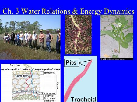 Ch. 3 Water Relations & Energy Dynamics. Water Potential Water in plants/soil has solutes: NEGATIVE What tissue in plant carries water?