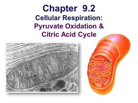 Chapter 9.2 Cellular Respiration: Pyruvate Oxidation & Citric Acid Cycle.