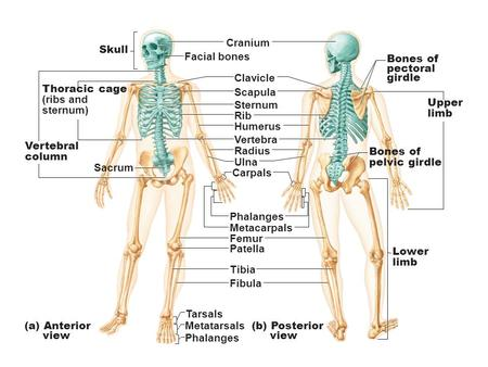 Figure 7.1 The human skeleton.