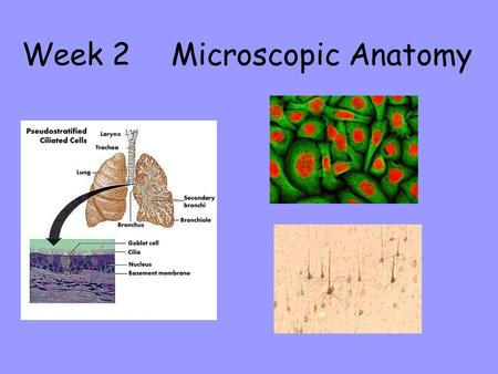 Week 2 Microscopic Anatomy. Parts of the Microscope Focusing Procedures Useful Terms Microscope Care & Handling Objective 1: The Compound Light Microscope.