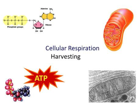 "2009-2010 Cellular Respiration Harvesting ATP Harvesting energy stored in food Cellular respiration –B–B In Using – ""aerobic"" respiration – usually digesting."