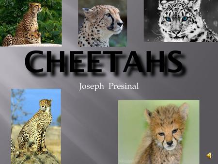 CHEETAHS Joseph Presinal There are five different animals with vertebrates. They are: Mammals Fish Reptiles Birds Amphibians.