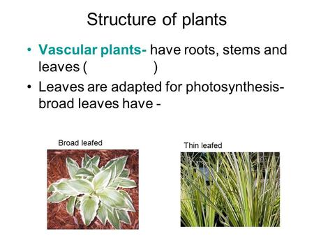Structure of plants Vascular plants- have roots, stems and leaves ( ) Leaves are adapted for photosynthesis- broad leaves have - Broad leafed Thin leafed.