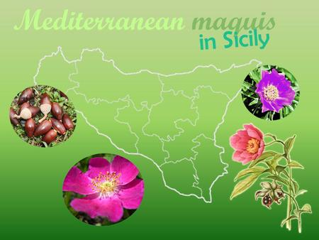 Mediterranean maquis. Biodiversity of Sicily is caused by geological, geomorphologic, climatic and historical processes and by position in the Mediterranean.