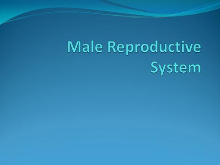 Function of the Male Reproductive System To produce sperm cells (male reproductive cells) Begin producing sperm around 12-15 yrs old Puberty - development.