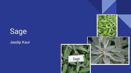 Sage Jasdip Kaur. Sage Common Name: Sage Scientific Name: Salvia Officinalis.
