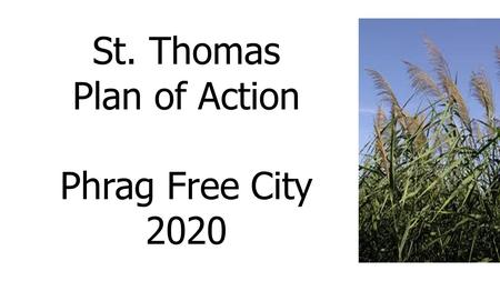 St. Thomas Plan of Action Phrag Free City 2020. Report to St. Thomas City Council January 18, 2016 PHRAGMITES CONTROL COMMITTEE Prepared for St. Thomas.