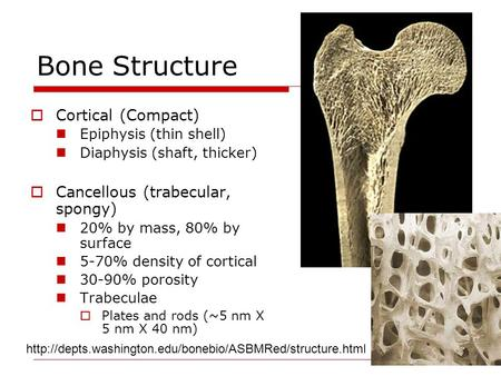 Bone Structure  Cortical (Compact) Epiphysis (thin shell) Diaphysis (shaft, thicker)  Cancellous (trabecular, spongy) 20% by mass, 80% by surface 5-70%