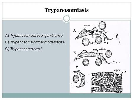 Trypanosomiasis A) Trypanosoma brucei gambiense