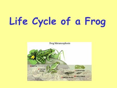 Life Cycle of a Frog Metamorphosis Metamorphosis is the changes that a frog goes through during its life cycle. There are four main stages in the life.