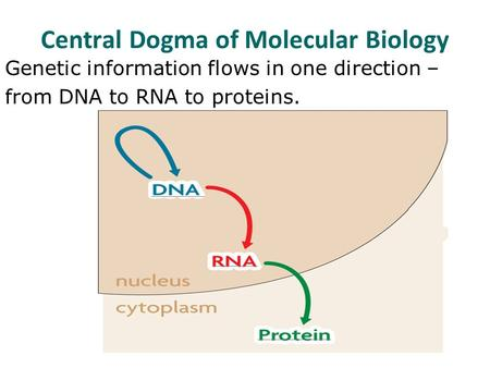 Central Dogma of Molecular Biology Genetic information flows in one direction – from DNA to RNA to proteins.