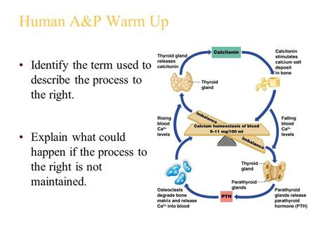 Human A&P Warm Up Identify the term used to describe the process to the right. Explain what could happen if the process to the right is not maintained.