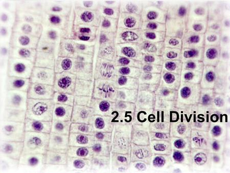 2.5 Cell Division. Assessment Statements 2.5.1 Outline the stages in the cell cycle, including interphase (G1, S, G2), mitosis and cytokinesis. 2.5.2.