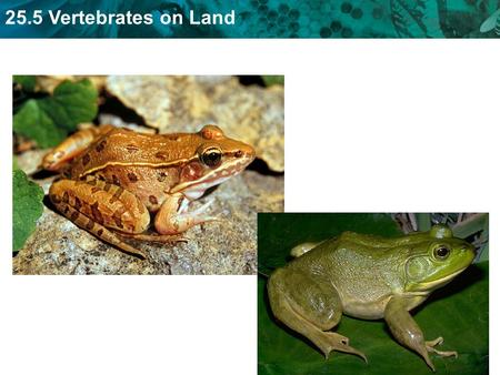 25.5 Vertebrates on Land. KEY CONCEPT Reptiles, birds, and mammals are adapted for life on land.