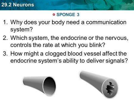 29.2 Neurons SPONGE 3 1.Why does your body need a communication system? 2.Which system, the endocrine or the nervous, controls the rate at which you blink?