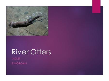 River Otters VIOLET 2 MORGAN. Appearance- Body  River Otters have thick brown fur and a long tail. They have webbed feet to help them swim. All River.