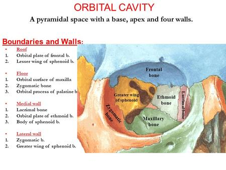 ORBITAL CAVITY A pyramidal space with a base, apex and four walls. Boundaries and Walls : Roof 1.Orbital plate of frontal b. 2.Lesser wing of sphenoid.