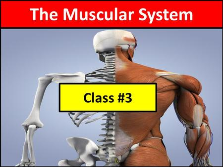 The Muscular System Class #3.