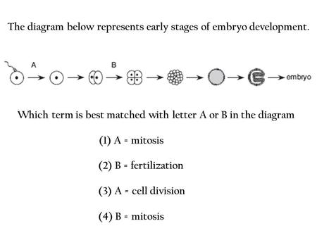 The diagram below represents early stages of embryo development.