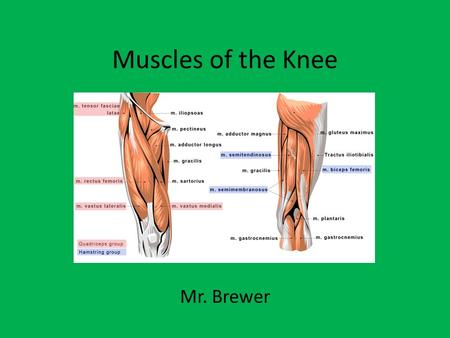 Muscles of the Knee Mr. Brewer.