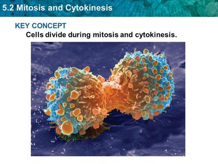 5.2 Mitosis and Cytokinesis KEY CONCEPT Cells divide during mitosis and cytokinesis.
