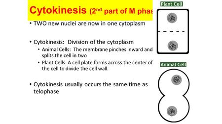 Cytokinesis (2 nd part of M phase) TWO new nuclei are now in one cytoplasm Cytokinesis: Division of the cytoplasm Animal Cells: The membrane pinches inward.