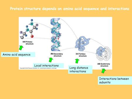 Protein structure depends on amino acid sequence and interactions Amino acid sequence Local interactions Long distance interactions Interactions between.