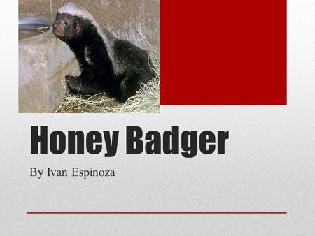 Honey Badger By Ivan Espinoza. Animal Group A Honey Badger is a Mammal It gives birth to its young.