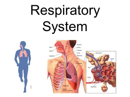 Respiratory System. RESPIRATORY SYSTEM: Pathway for gas exchange ** O 2 in to blood (For respiration  ENERGY) **CO 2 out of blood Quick Animation.