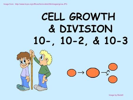 Image from:  Image by Riedell CELL GROWTH & DIVISION 10-, 10-2, & 10-3.