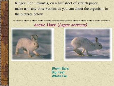Short Ears Big Feet White Fur Arctic Hare (Lepus arcticus) Ringer: For 3 minutes, on a half sheet of scratch paper, make as many observations as you can.