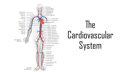 "The Cardiovascular System. ""Cardio"" is Greek for ""Heart"" ""Vascular"" relates to ""tubes"" The cardiovascular system transports blood around the body. It."