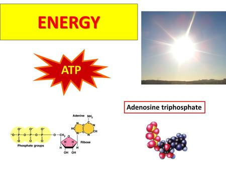 ENERGY ATP Adenosine triphosphate Why do you need energy? movement growth Active transport Temperature control.