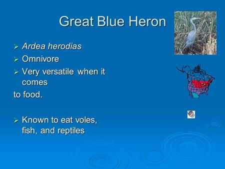 Great Blue Heron  Ardea herodias  Omnivore  Very versatile when it comes to food.  Known to eat voles, fish, and reptiles.