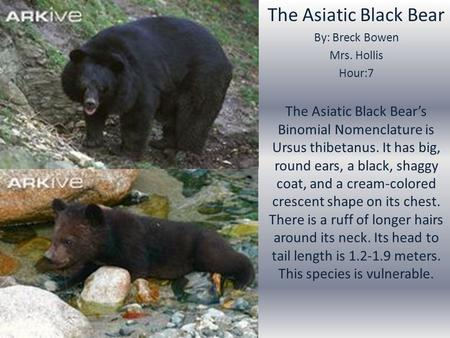 The Asiatic Black Bear By: Breck Bowen Mrs. Hollis Hour:7 The Asiatic Black Bear's Binomial Nomenclature is Ursus thibetanus. It has big, round ears, a.