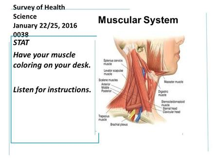Survey of Health Science January 22/25, 2016 0038 STAT Have your muscle coloring on your desk. Listen for instructions. Muscular System.