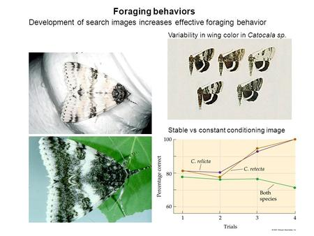 Foraging behaviors Variability in wing color in Catocala sp. Development of search images increases effective foraging behavior Stable vs constant conditioning.