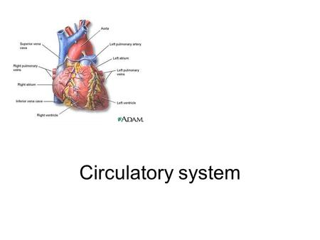 Circulatory system. Learning objectives 1.Identify the main functions of the circulatory system. 2.Diagram the flow of blood through the heart and body.