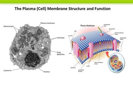 The Plasma (Cell) Membrane Structure and Function.
