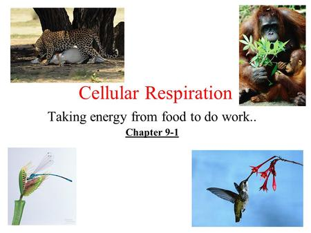 Cellular Respiration Taking energy from food to do work.. Chapter 9-1.